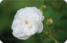 Growing 'Madame Hardy' Damask Rose