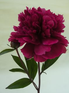 'Iron Stem Purple', Chinese Herbaceous Peony with the roses.