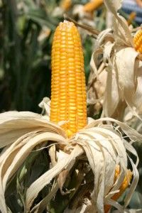 tips on growing corn