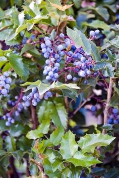 Oregon Grape Oregon Grape, Green Garden, Woodland, Tourism, Gardening, Fruit, Places, Turismo, Lawn And Garden