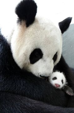 Taiwan panda cub spends first night with mother. From News Republic.