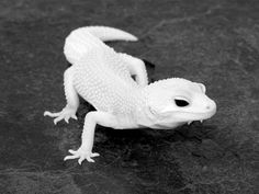 Albino Gecko.. Or just a white & black photo?