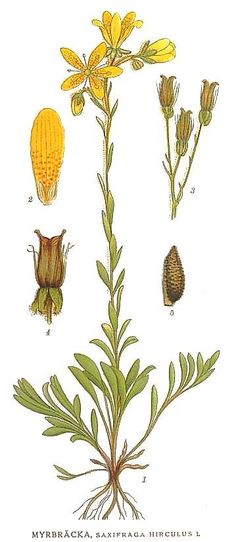 Botanical - Flower - Saxifraga hirculus