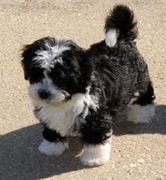 Discover Havenese Havanese Dogs Havanese Puppy Training Source by alfiejamesavery The post Havanese Puppy Training appeared first on Daisy Dog Home. Puppies And Kitties, Cute Puppies, Doggies, Puppies Gif, Baby Dogs, Pet Dogs, Cute Baby Animals, Animals And Pets, Havanese Puppies