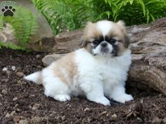 Pekingese puppies for sale! These fun-loving, affectionate Pekingese puppies do well with children and other pets. They are definitely lovable lapdogs. Pekingese Puppies For Sale, Pekingese Dogs, Rottweiler Puppies, Baby Puppies, Pet Puppy, Cute Puppies, Cute Dogs, Dogs And Puppies, Dog Cat
