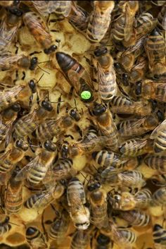 The survival of a colony of bees living in a bee hive depends on the queen bee. Without queen bee the hive will die. The hives queen is the only female bee that has fully developed reproductive organs. Top Bar Hive, Types Of Bees, Beekeeping For Beginners, Bee Farm, Bee Pollen, Bee Hives, Clay Vase, Health Facts, Bee Keeping