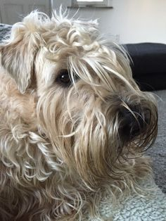 Irish soft Coated Wheaten Terrier Emma (March 2015)
