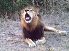 Powerful Roar Of A Majestic Wild African Male Lion - YouTube