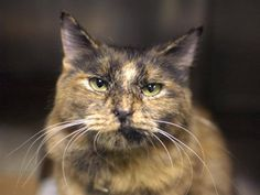 SAFE! TO BE DESTROYED 10/19/14 ** GORGEOUS, FRIENDLY GIRL! Justine was displaying friendly behavior; interacts with the observer, appreciates attention, is easy to handle and tolerates all petting. ** Brooklyn Center  My name is JUSTINE. My Animal ID # is A1016298. I am a female tortie domestic mh. The shelter thinks I am about 1 YEAR  I came in the shelter as a STRAY on 10/04/2014 from NY 11377, Group/Litter #K14-196820.