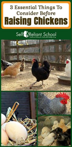 Three essential things to consider before raising chickens, either in a semi-urban or farm setting. #beselfreliant via @sreliantschool