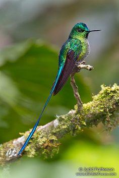 215/5000Sylph de cola larga de Judd Patterson, vía Flickr. Una de las 42 especies de colibrí increíble que vi en 10 días en Ecuador. Tengo muchas, muchas imágenes para publicar, pero la mayoría probablemente esperará hasta después de las vacaciones.