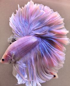 My Next Wall Betta / Siamese Fighting Fish!  Love The Color.