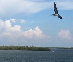 Pelican flying over bridge to Marco Island, Florida