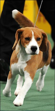 Uno (15 inch Beagle) wins Best In Show for 2008 Westminister Dog Show...love this dog!