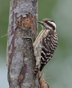 Sunda woodpecker (Dendrocopos moluccensis) | by Zakir Hassan