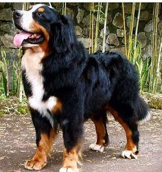Bernese Mountain Dog - hopefully will own one someday