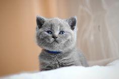 STARFALL *LT | British Shorthair Cattery http://starfall.lt/kittens/