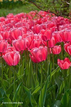 Darwin Hybrid Tulip 'Big Eartha'