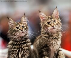 MAINE COON KITTENS #catsbreedsmainecoon