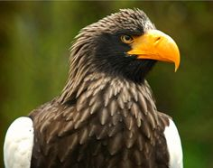 https://flic.kr/p/9wdRoJ   Steller's Sea Eagle   Some of my other animal shots: Animals