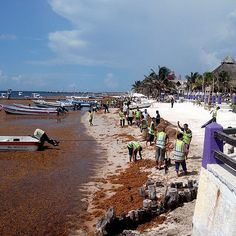 #Sargassum and #ClimateChange in the #Caribbean  Sargassum a particularly invasive brown #algae is all over the coasts of Puerto Morelos and causes a multitude of problems. Fortunately the citys dynamic and environment-friendly community was fast to take #ClimateAction. #Voices2Paris #ClimateNews  Read more at: http://ift.tt/1NEiD59