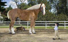 World biggest and smallest horse.