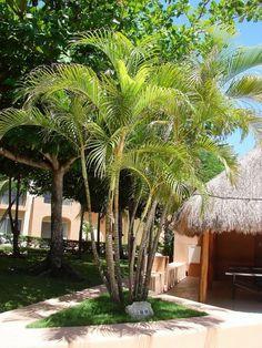 "Nome Botanico: Dypsis lutescens (H.Wendl.) Beentje & J.Dransf. Sin.: Chrysalidocarpus lutescens H.Wendl., Chrysalidocarpus glaucescens W., entre outras Nomes Populares: Areca, areca-bambu, palmeira areca. [h2 type=""2..."