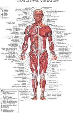 Lower Abdominal Muscles Anatomy Anatomy Of The Abdomen Muscles Anatomy Human Body