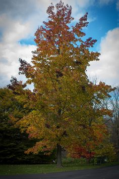 My own photo of an American #Sweetgum #tree. Its fall color is stunning. It's rarely planted in urban landscapes, however, because it drops seed balls that are covered in sharp spines.