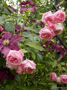 Beautiful Flowers, Plant Combinations, Flowers, Colorful Roses, Orchids, Pink Roses, Rose, Rose Garden, Clematis