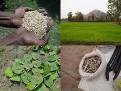 Medicinal Rice Formulations for Diabetes Complications, Heart and Liver Diseases (TH Group-71) from Pankaj Oudhia's Medicinal Plant Database