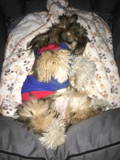 Lhasa Apso in dreamland
