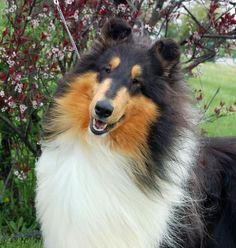 Smooth Collie, Rough Collie, Collie Dog, Best Dog Food, Best Dogs, Pyrenean Mastiff, Pembroke Welsh Corgi Puppies, Shetland Sheepdog, Sheltie