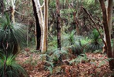 Eucalyptus trunks and grass trees