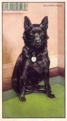 DOG-Schipperke-70-year-old-Trading-Card-1930s