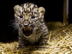 Prague Zoo is celebrating the birth of Amur Leopards, a species listed as…