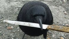 Police tape at a Vancouver crime scene was meant to keep people out and let police do their jobs, but it was no deterrent for Canuck the crow. The bird swooped off with evidence in its beak. The Crow, France 24, Job Interview Weakness, Vancouver, Crow Call, Criminal Profiling, Job Interview Preparation, Animal Attack, Baby Chickens