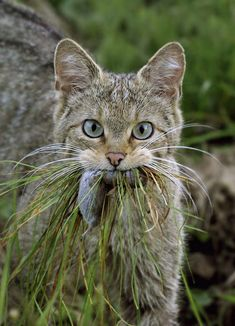 Lol, I have had a cat bring a mouse home in the grassy fashion!