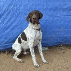 Got energy? Then Jasper just might be the boy for you! Gsp Rescue, Dog Pond, Pointer Dog, German Shorthaired Pointer, Mug Shots, Pointers, American Flag, Labrador Retriever, Puppies