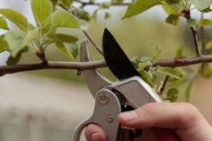 Hoe moet je de pruimenboom snoeien?