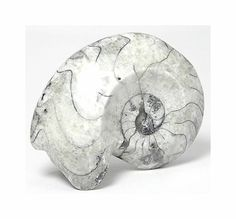 Fossil Goniatite Ammonite Polished White Fossil Cephalopod from the Primordial Ocean of Morocco, Wear it or Display it