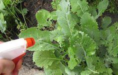 Un insecticide maison. Une recette à seulement 4 ingrédients! - Trucs et Astuces - Trucs et Bricolages