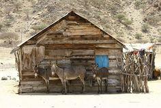 """Donkeys in Dissei island, Dalhak Eritrea. Shadow's welcome.Dalhak islands.""      Courtesie: Eric Lafforgue, Toulouse (France)."