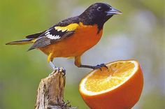 Feeding Birds with Oranges - Learn how to successfully attract orioles and other birds with sweet fruits. Orange Bird, Blue Bird, Love Birds, Beautiful Birds, Bird House Kits, How To Attract Birds, Bird Pictures, Class Pictures, Backyard Birds