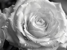 Ruusu,  foto : Satu S.