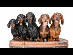DOGvision | Dog photography | dachshunds