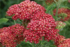 Common Yarrow 'Belle Epoque' (Achillea millefolium) 'Belle Epoque'