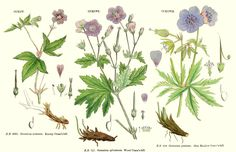 Geranium nodosum, G. sylvaticum and G. pratense: Eng. Bot. 295–297, 1864. duda…