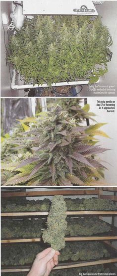 Harvesting – Drying and Curing – Cannabis & Marijuana | Cannabis Growers Guide