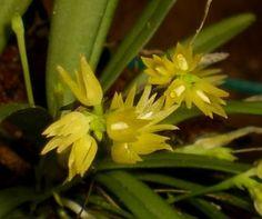 Chamaeanthus wenzelii
